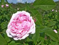 Růže damascénská 'Jacques Cartier' (Rosa x damascena)