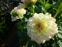 Dahlia  'Alloway Cottage' - Dahlia