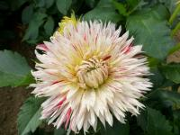Dahlia Dahlia  'Hollyhill 6-in-1'