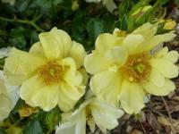 Rosa    'Celina'  Rose flowers