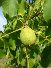 Juglans regia       'Broadview'  Walnut fruits