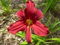 Denivka 'Scotland' (Hemerocallis hybrida)