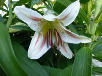 Lilium x hybridum   'Garden Party'  Lily flowers