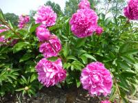 Paeonia lactiflora 'Attar of Roses'  Chinese Peony plant