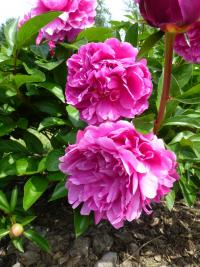 Paeonia lactiflora  'Attar of Roses'  Chinese Peony flowers