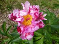 Chinese Peony Paeonia lactiflora  'Pink Spinners'