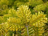 Abies nordmanniana    'Golden Spreader'  European silver twings