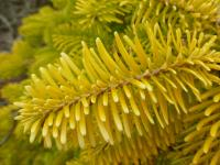 European silver Abies nordmanniana  'Golden Spreader'