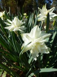 Daffodil Narcissus  'White Medal'