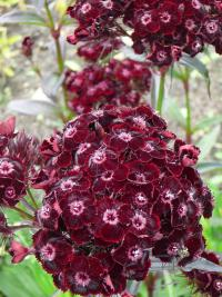 Dianthus barbatus   Sweet-william flowers