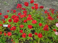 Dianthus barbatus   Sweet-william plant
