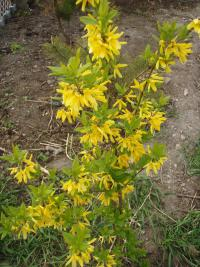 Forsythia suspensa   - Golden-bell