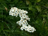Achillea millefolium   common yarrow flowers