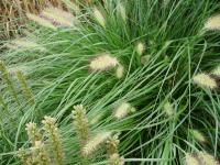 Pennisetum alopecuroides   Chinese fountaingrass flowers