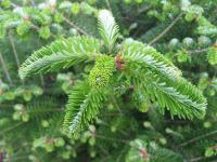 Abies koreana   Korean fir twings