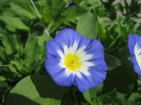 Convolvulus tricolor   dwarf morning glory flowers