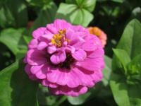 Zinnia elegans   Youth-and-age flowers