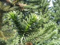 Araucaria araucana   Monkey-puzzle leaves