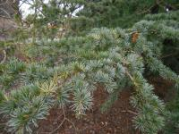 Cedrus atlantica   Atlantic Cedar needle