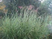 Miscanthus sinensis   Chinese Silver Grass plant