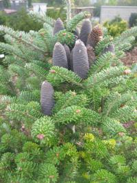 Abies koreana   Korean fir cones