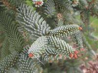 Abies pinsapo     'Glauca'  Spanish fir needle
