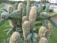 Abies pinsapo   'Glauca'  Spanish fir cones