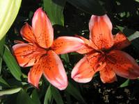 Lilium x hybridum  'Electric'  Lily flowers