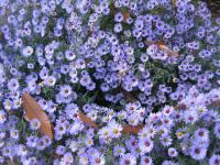 Aster dumosus    'Audrey'  Rice Button Aster plant