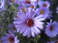 Aster dumosus       'Audrey'  Rice Button Aster flowers
