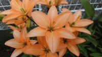 Lilium x hybridum      'Orange Cocotte'  Lily flowers