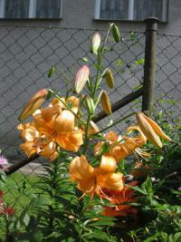 Lilium x hybridum  'Pearl Stacey'  Lily plant