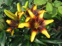 Lilium x hybridum      'Tigerplay'  Lily flowers