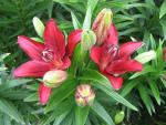 Lilium x hybridum       'Red Label'  Lily plant