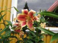 Lilium x hybridum 'Holland Beauty'  Lily plant