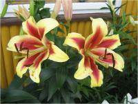 Lilium x hybridum      'Shocking'  Lily flowers