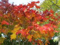 Downy Japanese-maple Acer japonicum
