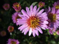 Aster dumosus  'Marjorie'  Rice Button Aster plant