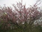 Prunus serrulata   - Japanese Cherry