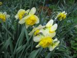 Narcissus 'Corly'  Daffodil plant