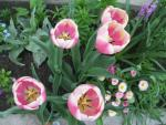 Tulipa  'Jumbo Beauty' - Tulip