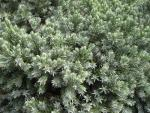 Juniperus squamata     'Blue Star'  singleseed juniper twings