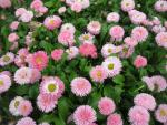 Bellis perennis  'Robella'  English Daisy plant