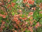 Chaenomeles superba 'Coral Sea'  Japanese Quince plant