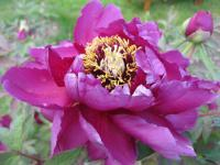 Paeonia suffruticosa  'Duchess of Marlborough' - Moutan Peony