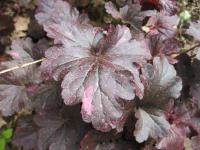 Dlužicha 'Midnight Rose' (Heuchera)