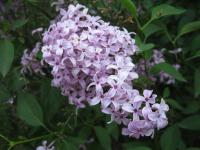 Syringa x chinensis   Chinese Lilac flowers