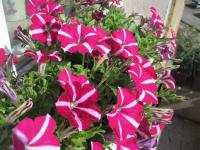 Petunia x hybrida    'Corona Purple Flash'  petunia flowers