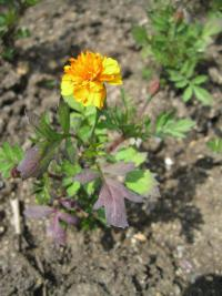 Tagetes patula  'Mowgli Orange'  French Marigold plant