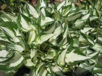 Hosta 'Fire and Ice'  Plantain Lily plant